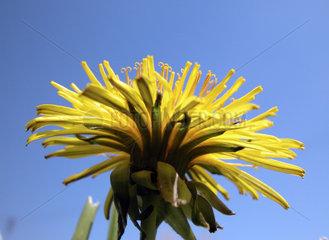 gew__hnlicher L__wenzahn  Taraxacum officinale  the common dandelion
