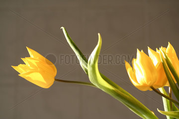 gelbe Tulpe  yellow tulips