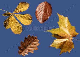 Herbst  Laub  autumn leaves