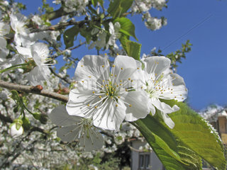 Bluete eines Kirschbaumes  cherry tree
