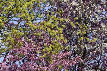 Fruehling  bluehende Baeume  spring