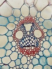 Vascular bundle from maize Zea mays