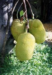 Durianbaum  Durio zibethinus  Zibetbaum  Thailand