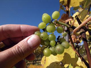 eife Weintrauben an der Rebe