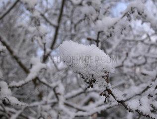 schneebedeckte Zweige
