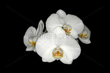Orchidee  orchid  Phalaenopsis