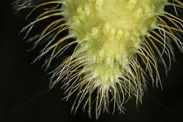 Samenkapsel  seed capsule