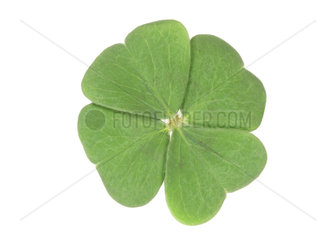 vierblaetteriges Kleeblatt  four-leaf clover