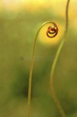eingerollte Knospe eines eines langblaettrigen Sonnentaus  Sonnentau  Drosera  fleischfessende Pflanze
