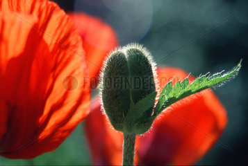 Mohn  corn poppy