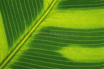 Pfeilwurzgewaechse  Korbmarante  Marantaceae