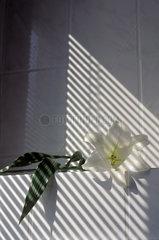 Schatten faellt auf eine weisse Lilie  lily