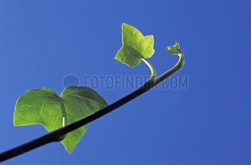 Efeu  ivy blue sky