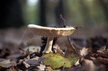 Herbst  Waldpilz  autumn  mushroom