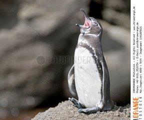 GalssÆ?ssÂÂ¡pagos Penguin  Spheniscus mendiculus  from Sullivan Bay  Santiago