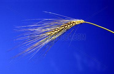 Gerste  barley