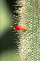 Cleistocactus strausii  Silberkerzenkaktus  Bluete  cactus blossom