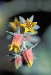 Echeveria  Echeverien  Bluete  star blossom