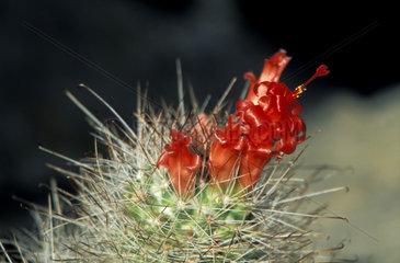 Kakteen  Oreocereus  Bluete  thorn spine cactus blossom