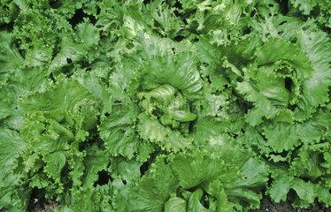 Salat im Garten  salad