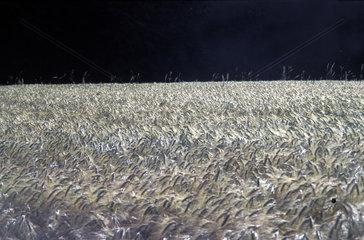 Gerstenfeld  barley field black sky