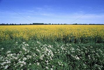 Rapsfeld mit wilden Moehren  rape field with wild carrot