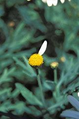 Margerite mit einem Bluetenblatt  marguerite