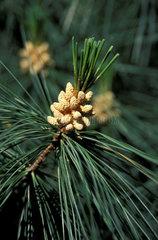 Blueten einer Kiefer / conifer blossom pine