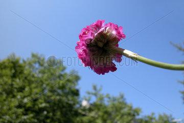 pink Bluete