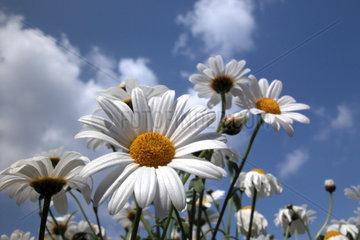 Magerite  daisy