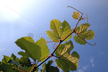 wilder Wein  wild wine