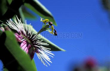 Passionsblume  Passiflora  passion flowers