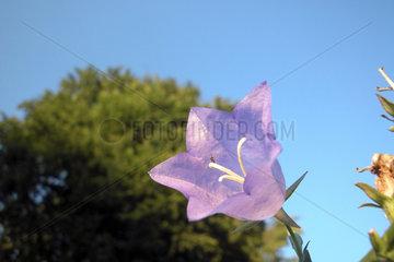 blaue Glockenblume / bellflower