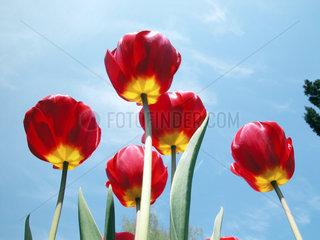Tulpenbl__ten  tulips