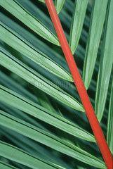 Palmblatt mit rotem Blattstiel  Thailand