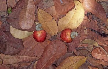 Cashewnuesse zwischen Laub  cashew nuts