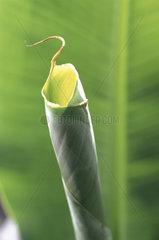 Bananenblatt  banana leaf