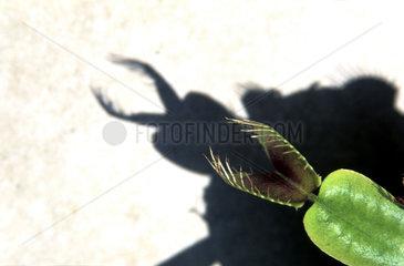 Venusfliegenfalle  Dionaea muscipula  Venus Flytrap