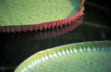 Riesenseerose  Victoria amazonica  Suedamerika  Brasilien