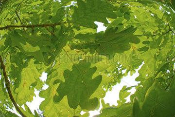 Blaetter einer Eiche  oak leaves