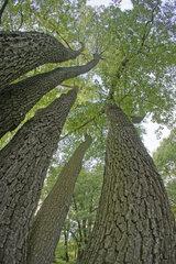 Eichen  oaks