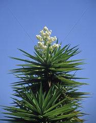bluehende Yucca Palme / Yucca flower  Spain