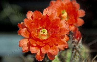 Echninocheus  cactus red flower in bloom