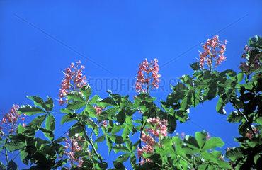 bluehender Kastanienbaum / chestnut in bloom