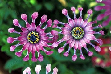 pinke Bluete  pink blossom extraordinary shape