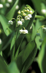 Maigloeckchen  lily of the valley