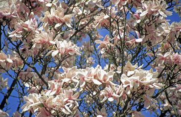 bluehende Magnolie / tree of magnolia in bloom