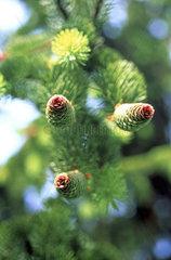 Tannenzapfen / fir cone