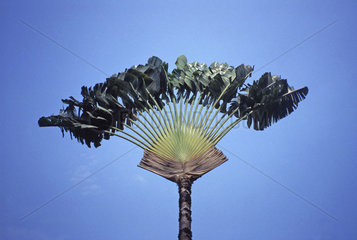 flabellate palm