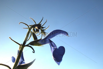 blaue Akelei / blue columbine